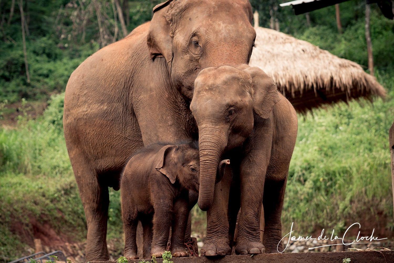 Elephant Photo Tours Chiang Mai
