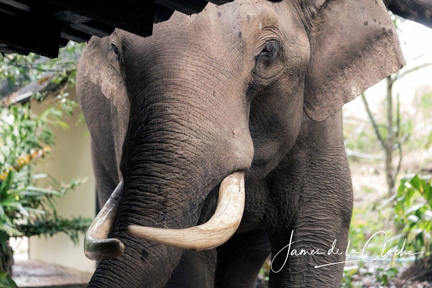 Giant Bull Elephant Up Close