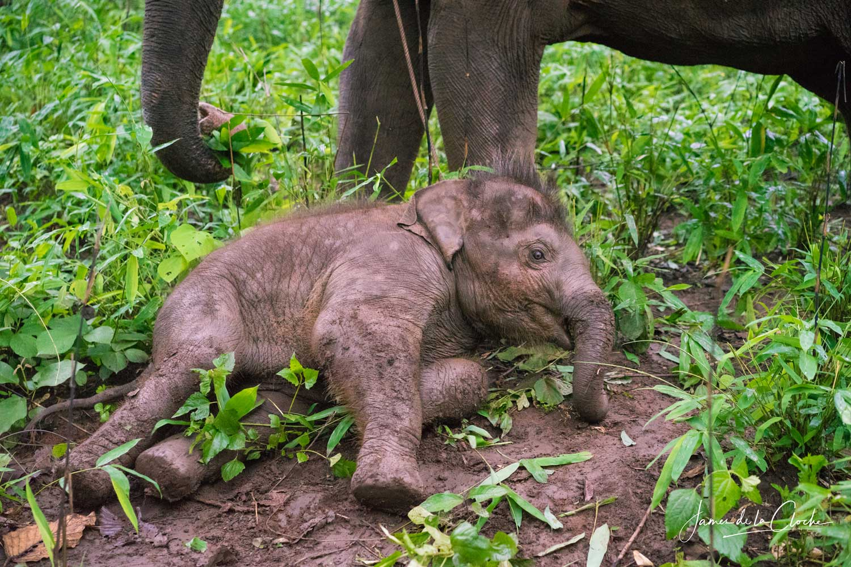 Baby Elephant Chiang Mai